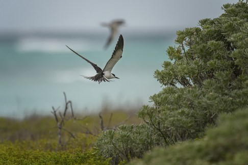 Sooty Tern (Onychoprion fuscatus) at the breeding colony on Bush Key