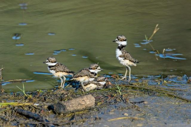 Four Killdeer (Charadrius vociferous) chicks