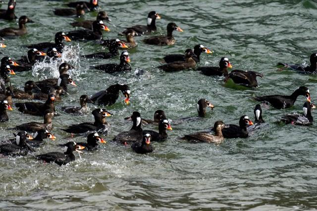 wildlife birding photographs Haines, AK