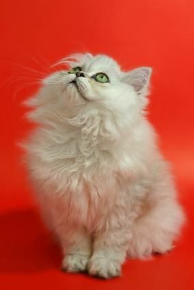 white persian cat portrait National Hairball Awareness Day