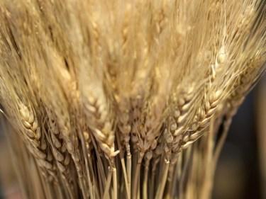 もち麦・押し麦・大麦の違いやダイエットに効くのはどれ?味の違いは?