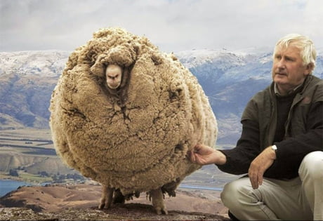 This sheep ran and hid in a cave to avoid shearing. He was found 6 years later looking like this.