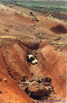 Deserto e ovelhas na zona mais alta do Parque Ecológico do Funchal, setembro de 1995