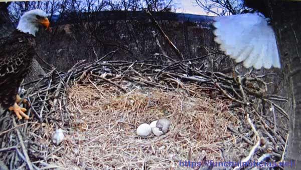 aguia-cabeca-branca