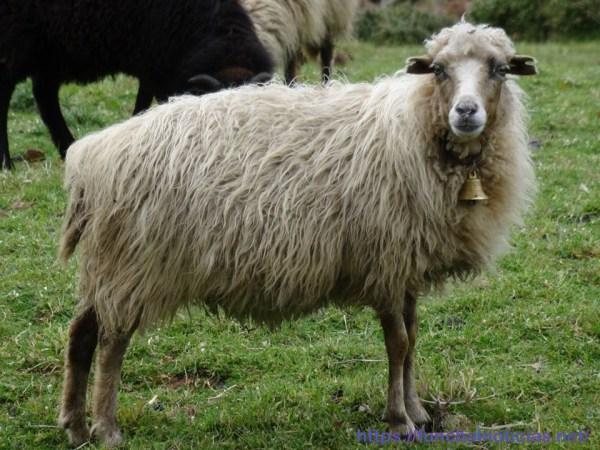 ovelha 4