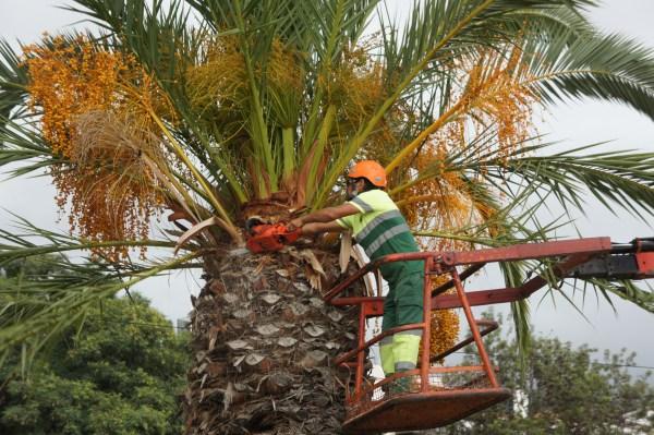 palmeira funchal