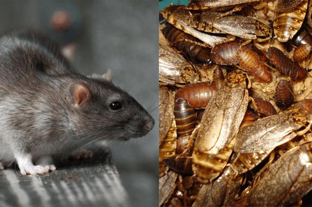 ratos e baratas