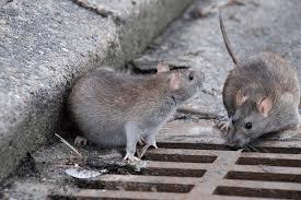 ratos2