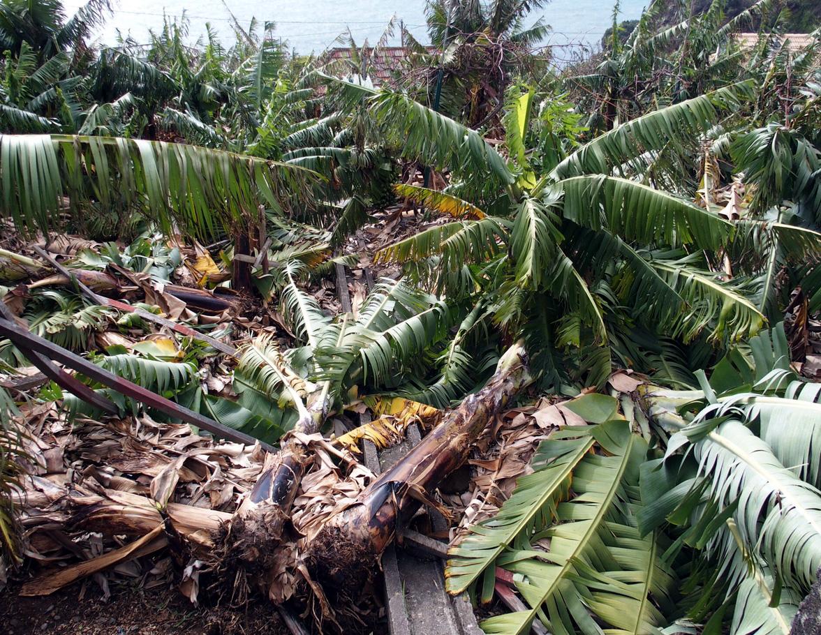 Aprovado novo produto para combater doença nas bananeiras, anuncia a Secretaria da Agricultura
