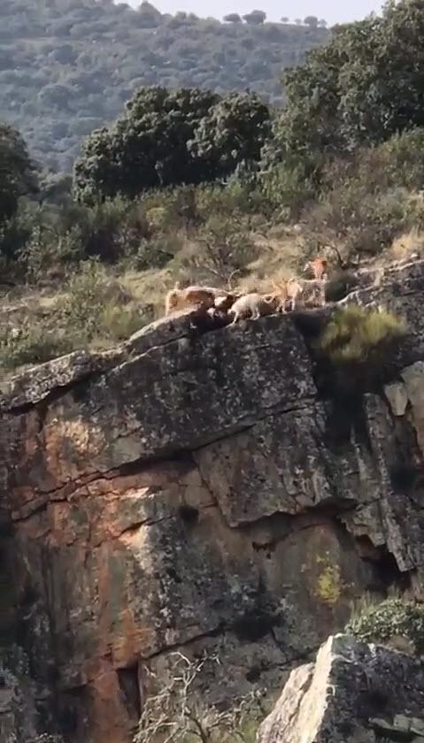 Caçador deixa 12 cães e um cervo cairem de um penhasco  sem nada fazer - Imagens chocantes [vídeo]