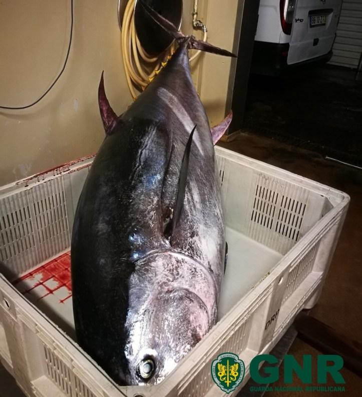 GNR Madeira - Apreensão de atum rabilho