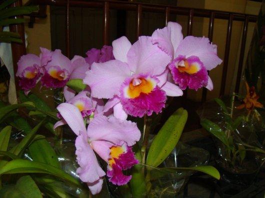 Exposição de orquídeas do Orquidário Lumani (foto Agnaldo Montesso 09-10-2018) (1)