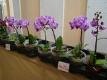 Exposição de orquídeas do Orquidário Lumani (foto Agnaldo Montesso 09-10-2018) (15)