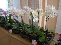 Exposição de orquídeas do Orquidário Lumani (foto Agnaldo Montesso 09-10-2018) (16)