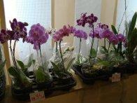 Exposição de orquídeas do Orquidário Lumani (foto Agnaldo Montesso 09-10-2018) (20)