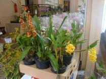 Exposição de orquídeas do Orquidário Lumani (foto Agnaldo Montesso 09-10-2018) (9)