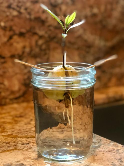 cómo plantar aguacates en casa