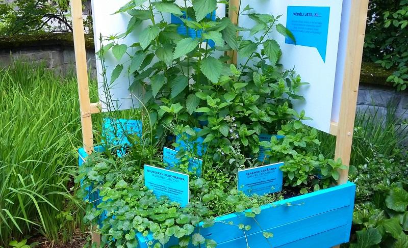 zdrowe chwasty w skrzynce - ogród społeczny w Cieszynie