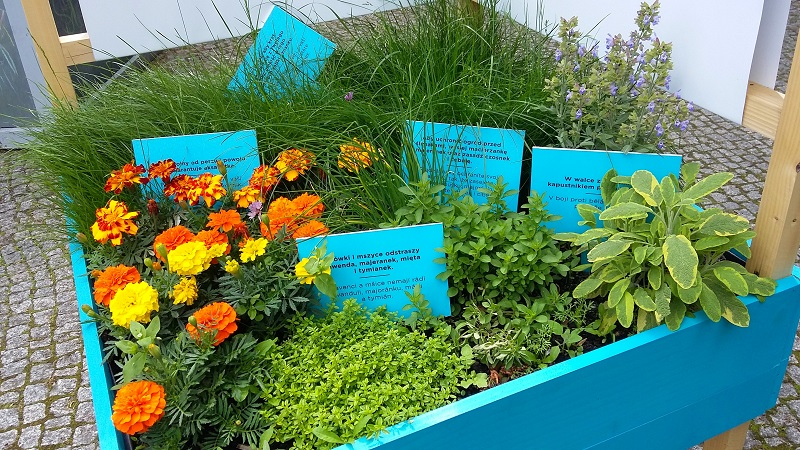 skrzynia ziół w ogrodzie społecznym