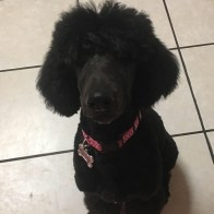 Black Betty the poodle