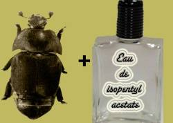 Beetles + isopentyl acetate = Unstoppable!