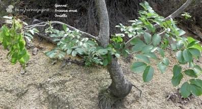 Giovane piantina di Orniello o Fraxinus ornus