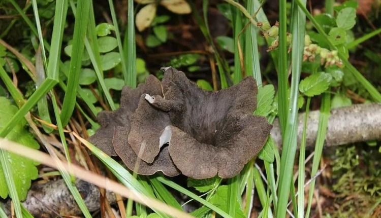 Craterellus cornucopioides o Trombette dei Morti