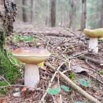 Funghi Porcini edulis