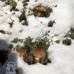 Funghi Porcini sotto la neve