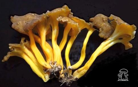Craterellus lutescens o Finferla
