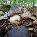 Porcini pinicola Boletus pinophilus