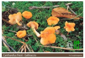 Cantharellus friesii
