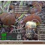 Lanmaoa fragrans Boletus fragrans