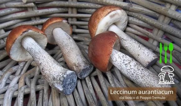 Porcinello rosso Leccinum aurantiacum