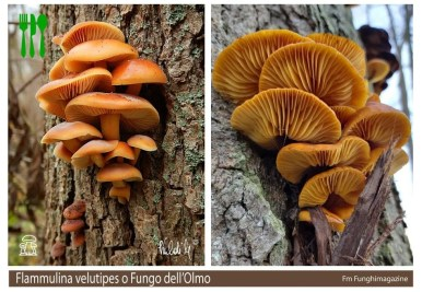 Flammulina velutipes fungo dell'Olmo