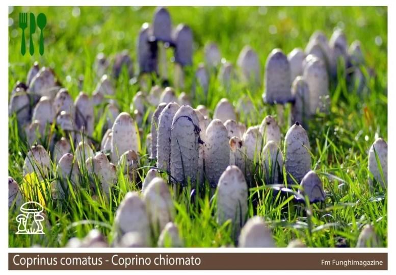 Coprinus comatus o fungo dell'inchiostro