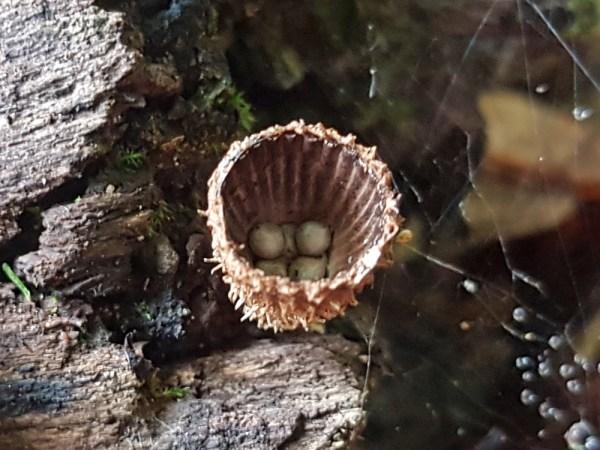 Gestreifter Teuerling - Cyathus striatus