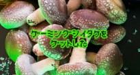 立派なきのこ…!静岡県産の菌床栽培椎茸「ゲーミング椎茸」が販売開始!