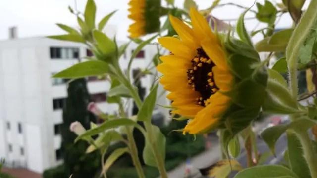 Sonneblumen auf dem Balkon - Blumenwichteln 2013