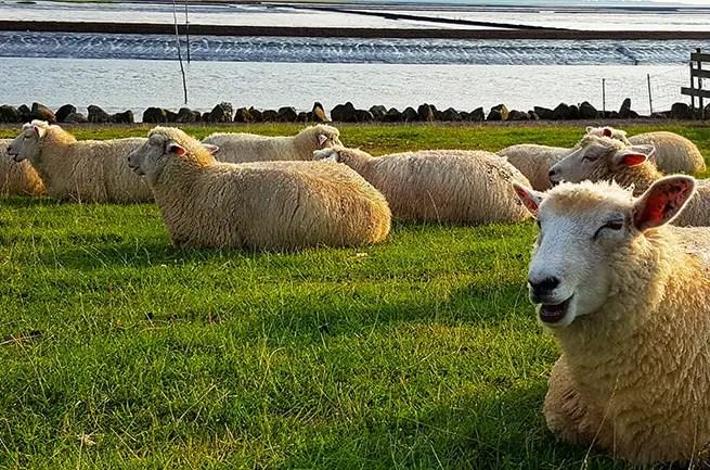 Schafe an der Nordsee