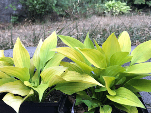 Golden spaders hosta med gyllengula blad
