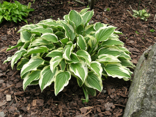 Little Wonder - Hosta