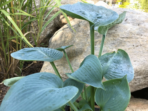 Hosta Bigg Daddy