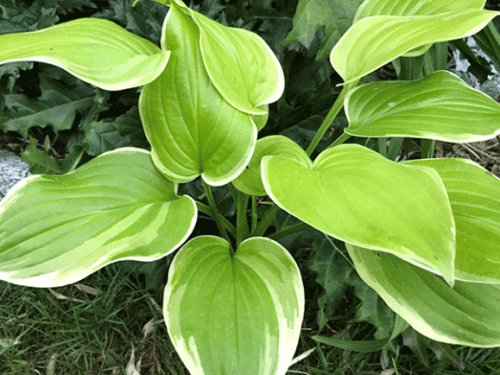 Funkian Hosta-Fragrant-Bouque
