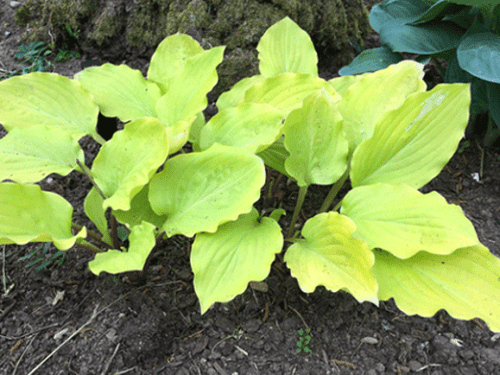 Hosta-Fruit-Punch-