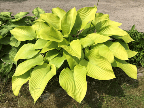 Hosta-Key-West