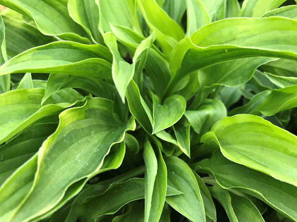 Hosta-Lemon-Delight