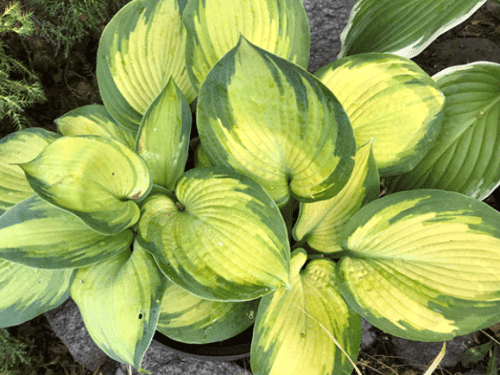 Hosta-Magic-West-