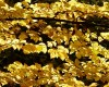Fall Foliage - Beech Leaves in the Mail