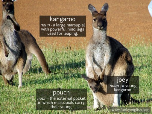 Kangaroo photo vocabulary